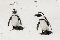 Pinguini sulla spiaggia Fotografie Stock