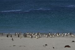 Pinguini sulla spiaggia del leopardo Immagini Stock