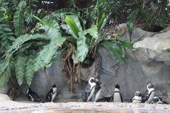 Pinguini in zoo fotografie stock libere da diritti