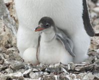 Pinguinküken im Nest. Lizenzfreie Stockbilder