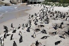 Pinguinkolonie auf Flusssteinen setzen, Simon-` s Stadt nahe Cape Town, Südafrika auf den Strand Stockfoto
