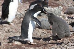 Pinguinmutter, die das Küken - Adelie-Pinguin speist Stockfotografie