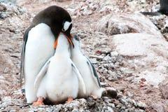Pinguinmutter, die ein Küken, penguine Mutter mit zwei Küken einziehen ein einzieht stockbilder