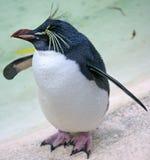Pinguino 1 della tramoggia di roccia fotografie stock