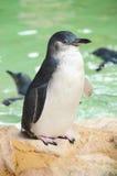 Pinguino Immagine Stock