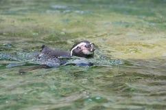 Pinguino in acqua Immagini Stock