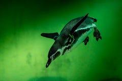Pinguino in acqua verde Immagine Stock