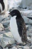 Pinguino adulto del Adelie, che molt. Immagini Stock