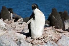 Pinguino adulto del adelie con i pulcini nel fondo fotografia stock libera da diritti