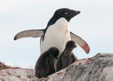 Pinguino adulto di Adelie e due pulcini, penisola antartica fotografia stock