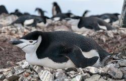 Pinguino adulto di sottogola che si trova sul nido, isola di mezzaluna, penisola antartica fotografie stock libere da diritti