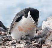 Pinguino adulto di sottogola con il pulcino recentemente covato, penisola antartica immagini stock
