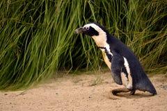 Pinguino africano Fotografie Stock Libere da Diritti