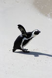 Pinguino africano fotografia stock libera da diritti
