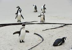 Pinguino africano alla spiaggia Fotografia Stock
