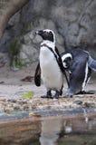 Pinguino africano (demersus dello Spheniscus) Immagini Stock