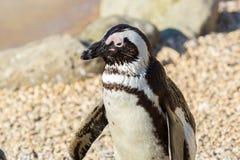 Pinguino africano (demersus dello Spheniscus) fotografia stock libera da diritti