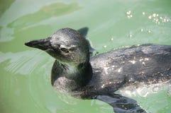 Pinguino africano giovanile Fotografia Stock