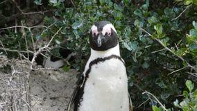 Pinguino africano selvaggio stock footage