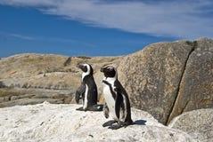 Pinguino africano sulla roccia Fotografia Stock Libera da Diritti