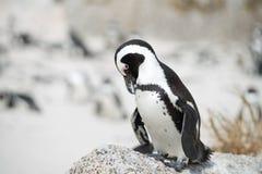 Pinguino africano sulla spiaggia Fotografia Stock Libera da Diritti