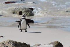 Pinguino africano sulla spiaggia dei massi Fotografia Stock Libera da Diritti