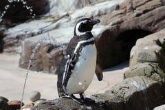 Pinguino al sole Fotografie Stock Libere da Diritti