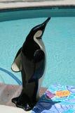 Pinguino alla piscina Fotografia Stock Libera da Diritti