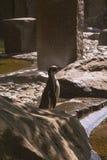 Pinguino allo zoo immagini stock libere da diritti