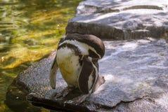 Pinguino allo zoo fotografie stock