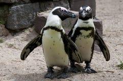 Pinguino allo zoo Immagini Stock