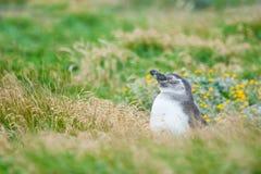 Pinguino in alta erba sul prato Fotografia Stock Libera da Diritti