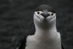 Pinguino antartico di Chinstrap fotografia stock