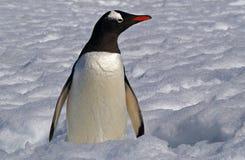 Pinguino antartico di Gentoo Fotografie Stock