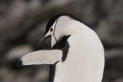 Pinguino Antartide di Chinstrap Fotografie Stock Libere da Diritti