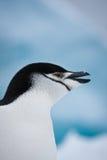 Pinguino in bianco e nero Immagini Stock Libere da Diritti