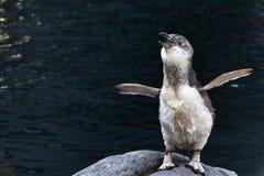 Pinguino blu dalla Nuova Zelanda fotografia stock libera da diritti