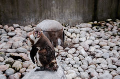 Pinguino che aspetta per essere fotografatoe Immagine Stock