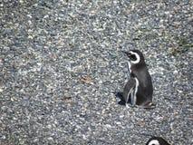 Pinguino che riposa e che chequing sul resto del gruppo immagine stock libera da diritti