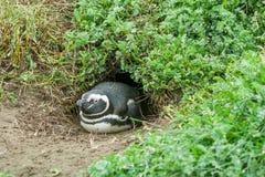Pinguino che si trova sulla terra Immagine Stock Libera da Diritti