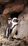 Pinguino che sta su una roccia Fotografia Stock