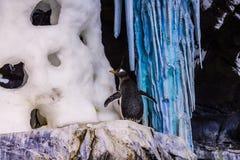 Pinguino che sta in una roccia Fotografia Stock