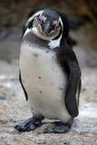 Pinguino a Città del Capo Fotografia Stock