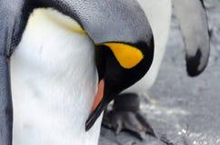 Pinguino comune Fotografia Stock Libera da Diritti