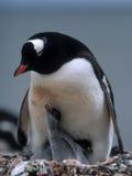 Pinguino con i pulcini Immagini Stock Libere da Diritti