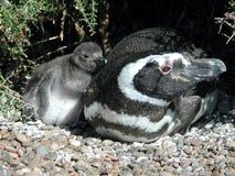 Pinguino con il pulcino Fotografie Stock
