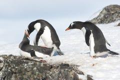 Pinguino curioso di Gentoo Immagine Stock Libera da Diritti