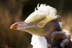 Pinguino degli antipodi raro Fotografia Stock Libera da Diritti