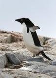 Pinguino del Adelie Fotografie Stock Libere da Diritti