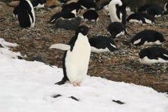 Pinguino del Adelie Fotografie Stock